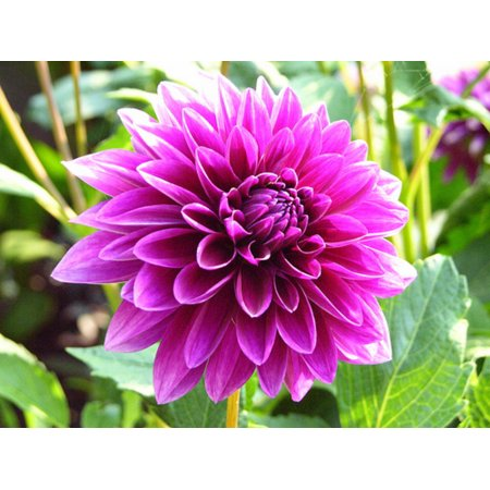 - Thomas Edison Decorative Dahlia - 2 Bulb Clumps - Purple Petals