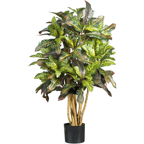 3' Croton Silk Tree