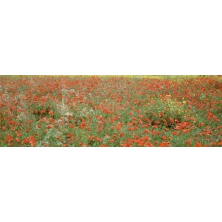 Poppies growing in a field Sicily Italy Canvas Art - Panoramic Images (18 x