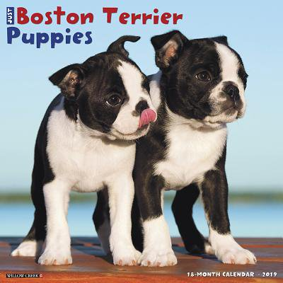 Just Boston Terrier Puppies 2019 Wall Calendar (Dog Breed Calendar) (Other)