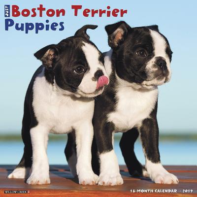 Just Boston Terrier Puppies 2019 Wall Calendar (Dog Breed Calendar) (Other)