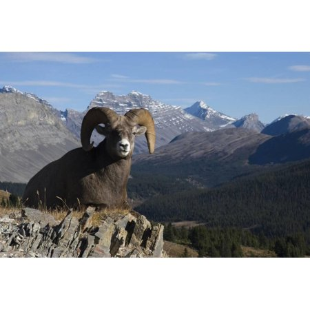 Rocky Mountain Bighorn Sheep Ram, Canadian Rockies Print Wall Art By Ken (Bighorn Sheep Pictures)
