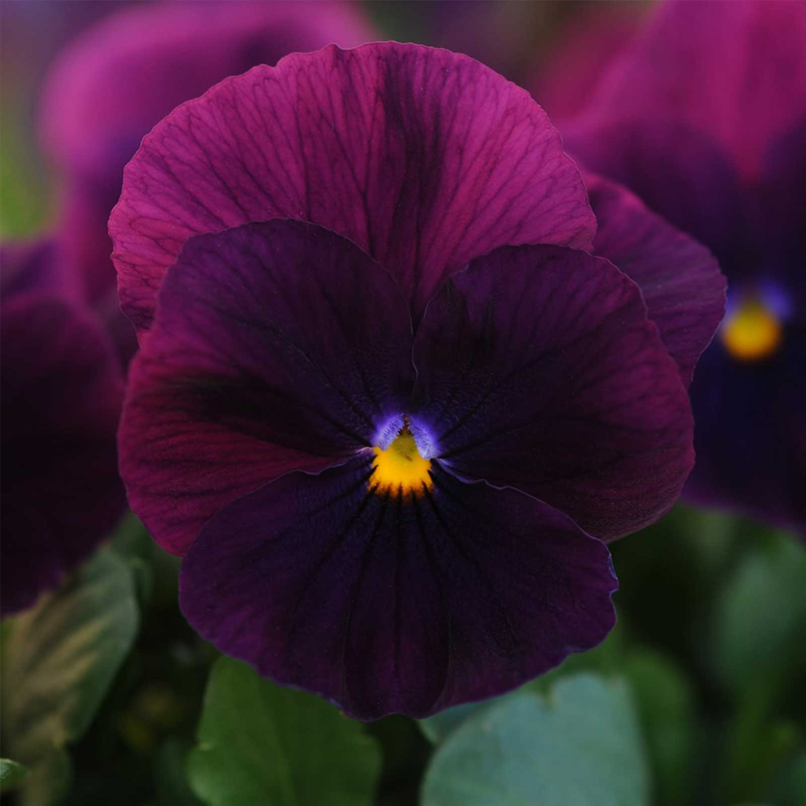 Pansy Flower Garden Seeds - Cool Wave Series - Frost - 100 Seeds - Annual Flower Gardening Seed