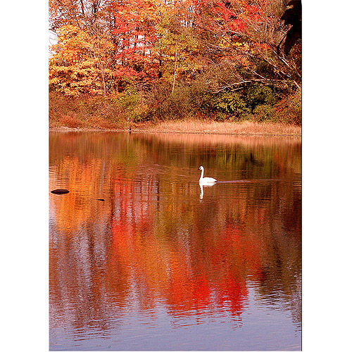 "Trademark Art ""Autumn Swan"" Canvas Art by Kurt Shaffer, 24x32"