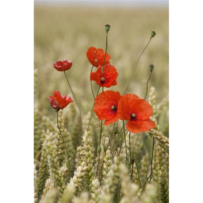 Posterazzi DPI1852610 Wildflowers - Poppies in A Grain Field Poster Print, 12 x 19 - image 1 of 1