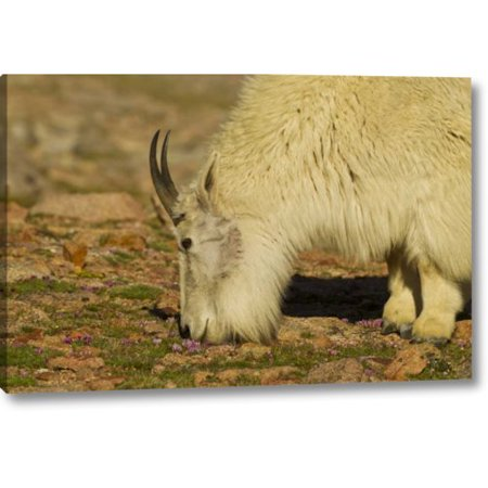 August Grove 'CO, Mount Evans Mountain Goat Feeding on Flowers' Photographic Print on Wrapped Canvas