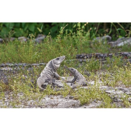 - Canvas Print Tropical Reptile Nature Wildlife Iguanas Lizards Stretched Canvas 10 x 14