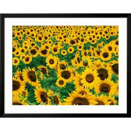 Art.com Field of Sunflowers, Frankfort, Kentucky, USA Framed Photographic Print