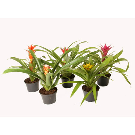 Image of Costa Farms Bromeliad 5IN