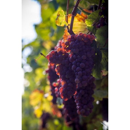 LAMINATED POSTER Grapes Wine Berries Berries Grapevine Grape Vine Poster Print 24 x 36