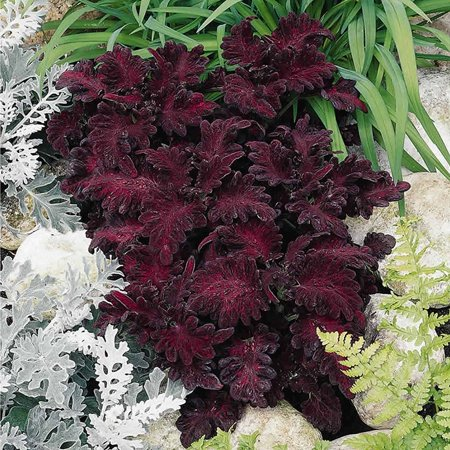 Decorative House Plants - Black Dragon Coleus Seeds - 1000 Seeds - Decorative House & Garden Plant - Solenostemon scutallarioides, Coleus Flower Seeds - Black Dragon .., By Mountain Valley Seed Company Ship from US