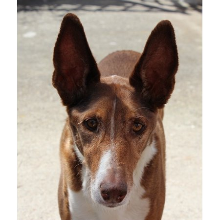 LAMINATED POSTER Long Eared Dog Breed Podenco Hunter Dog Portrait Poster Print 24 x 36