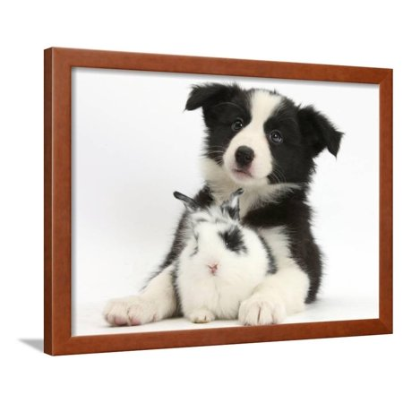 Border Collie Black And White - Black and White Border Collie Puppy and Baby Bunny Framed Print Wall Art By Mark Taylor