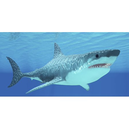 The Great White Shark Can Live For More Than 70 Years And Reach A Length Of 8 Meters Or 26 Feet Poster Print