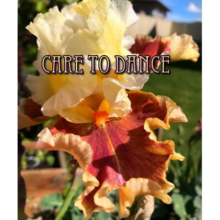 Bearded Iris Care (Care To Dance - Tall Bearded Iris - 2013, Schreiner - Iris Rhizome)