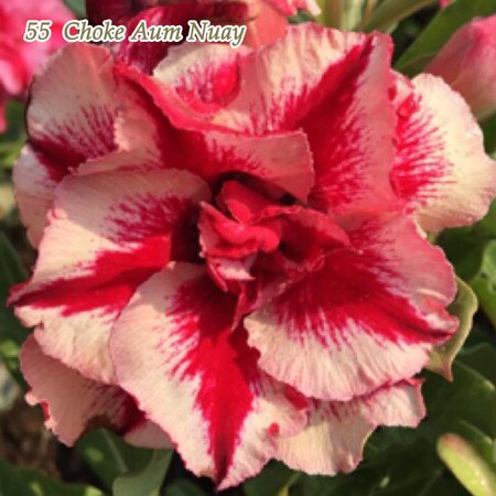 Exotic Tropical Plant - Grafted Desert Rose Adenium Obesum Plants MIXED COLORS Exotic Succulent Bonsai