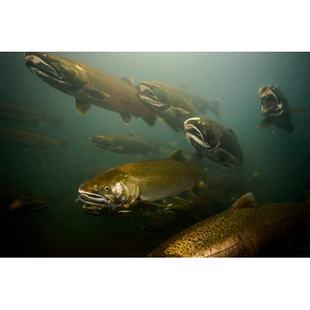 Coho salmon Rogue River Oregon Poster Print by VWPicsStocktrek (Coho Salmon)