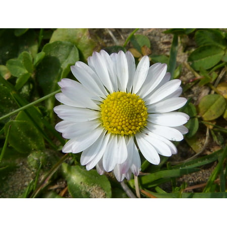 Peel-n-Stick Poster of Quality Flower Close Blossom Daisy Petals Spring Poster 24x16 Adhesive Sticker Poster Print