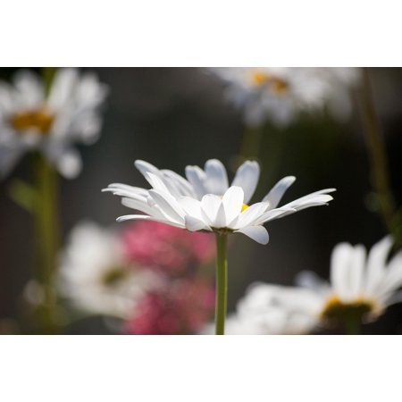 Laminated Poster Spring Flowers Daisies Margaret Flower Nature Poster Print 24 x 36