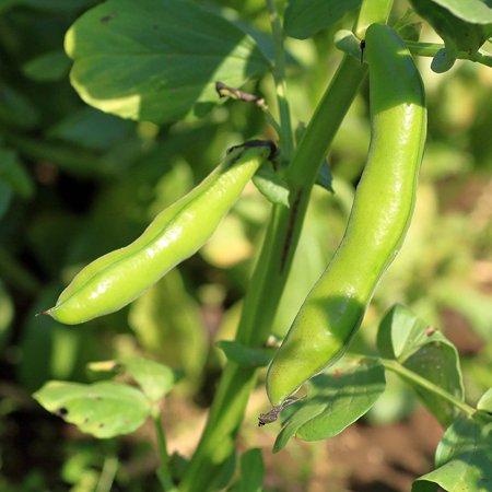 Broad Windsor Fava Bean Seeds - 1 Lb - Non-GMO, Heirloom - Vegetable Garden Seeds - Vicia faba, Bean Seeds - Fava - Broad Windsor - 5 Lbs - Vicia faba By Mountain Valley Seed Company Ship from