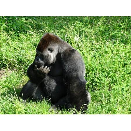 LAMINATED POSTER Gorilla Africa Wildlife Ape Monkey Animal Nature Poster Print 24 x -