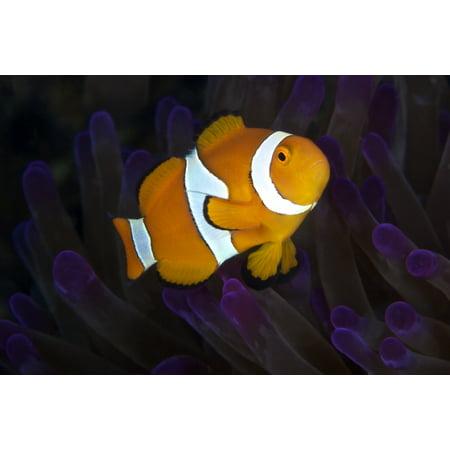 False Ocellaris Clownfish in its host anemone Papua New Guinea Poster - Clownfish Anemone