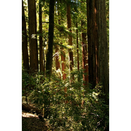 LAMINATED POSTER California Redwood Tree Giant Organic Trees Poster Print 24 x - Giant Tree