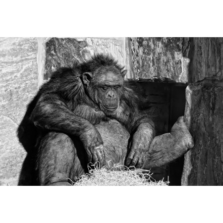 - LAMINATED POSTER Relax Animals Chimpanzee Cozy Mammal Monkey Ape Poster Print 24 x 36