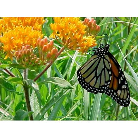 Butterfly Weed Perennial   Asclepias Tuberosa   Gallon Pot