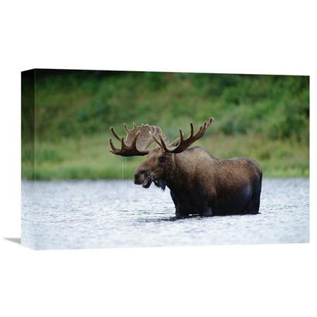 Global Gallery Moose Male Raising Its Head While Feeding in Lake North America Wall Art ()