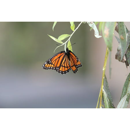 Laminated Poster Butterfly Nature Monarch Wings Monarch Butterfly Poster Print 24 x 36