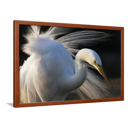Ebbets Framed (Great Egret (Ardea Alba) Pusztaszer, Hungary, May Framed Print Wall Art By Varesvuo )