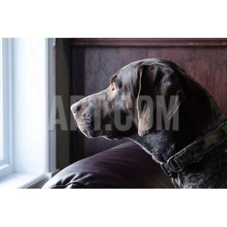 A German Short Haired Pointer Hunting Dog Looking outside through a Window in Rich Brown Tones Print Wall Art By Lost Mountain (German Shorthair Pointer Hunting)