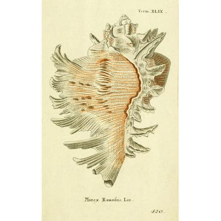 Naturgeschichte des Thierreichs 1780 Shells Murex Canvas Art - Daniel Sotzmann (24 x 36)