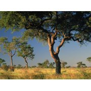 Acacia Trees, Kruger National Park, South Africa Print Wall Art By Walter Bibikow