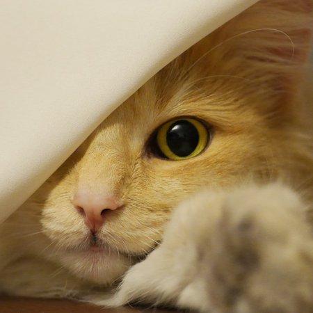 Canvas Print Face Cat Norwegian Forest Cat Cat