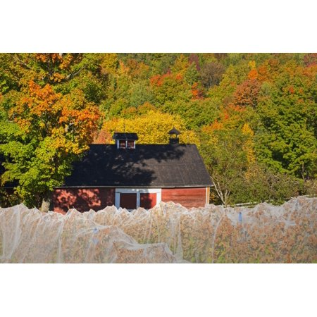 Wine grape vineyard in autumn with bird netting covering the vines to protect the crop shortly before harvest Knowlton Quebec Canada Stretched Canvas - David Chapman  Design Pics (19 (Autumn Gown)