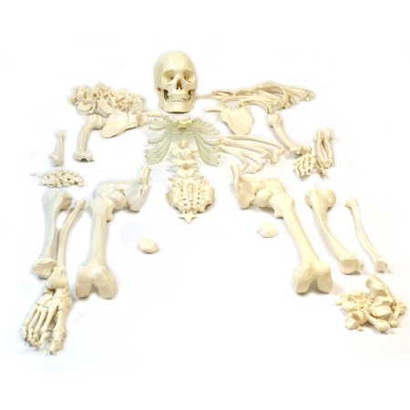 Disarticulated Human Skeleton, Full, Medical Quality, Life Sized (62