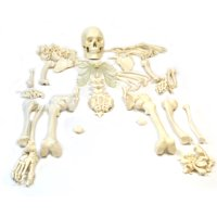 "Disarticulated Human Skeleton, Full, Medical Quality, Life Sized (62"" Model Height) - 23 Intevertebral Discs, 3 Part Skull with Moveable Jaw, Left Hand and Foot Jointed"