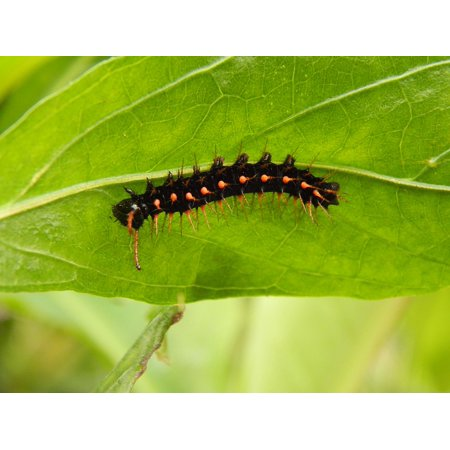 Peel-n-Stick Poster of Black Spotted Green Caterpillar Crawling Nature Poster 24x16 Adhesive Sticker Poster Print