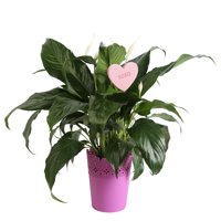 Deals on Delray Plants Live Peace Lily in Decor Pot