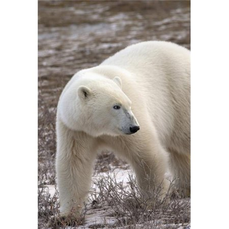 Posterazzi DPI1883320 Polar Bear Ursus Maritimus Who Is Very Dangerous Looking As He Explores The Territory - Churchill, Manitoba, Canada Poster Print, 12 x 19 - image 1 de 1