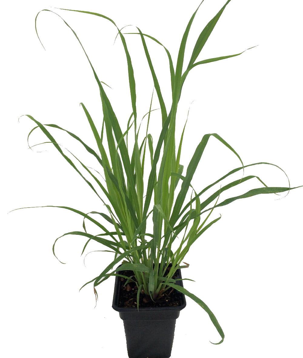 Ohio Grown Lemon Grass Plant Cymbopogon Also Repels Mosquitos 4 Quot Pot Walmart Com