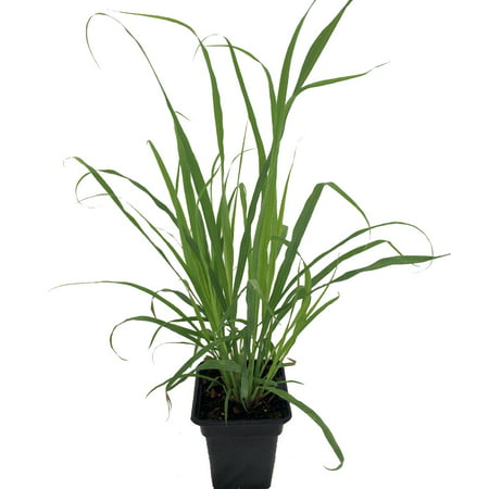 Garden Plants Grasses - Ohio Grown Lemon Grass Plant - Cymbopogon - Also Repels Mosquitos - 4
