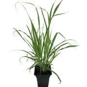 """Ohio Grown Lemon Grass Plant - Cymbopogon - Also Repels Mosquitos - 4"""" Pot"""