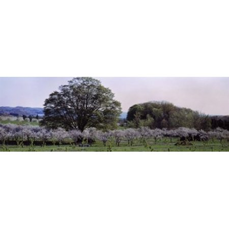Cherry trees in an Orchard Michigan USA Canvas Art - Panoramic Images (18 x (Best Cherry Trees For Michigan)