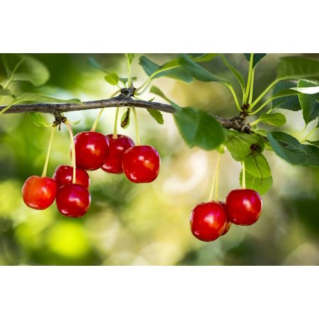 Close Up Of Red Ripe Cherries Hanging On A Branch Calgary Alberta Canada Poster Print By Michael Interisano  Design Pics
