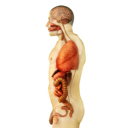 Anatomy of human body showing whole organs side view Poster - Organs Human Body