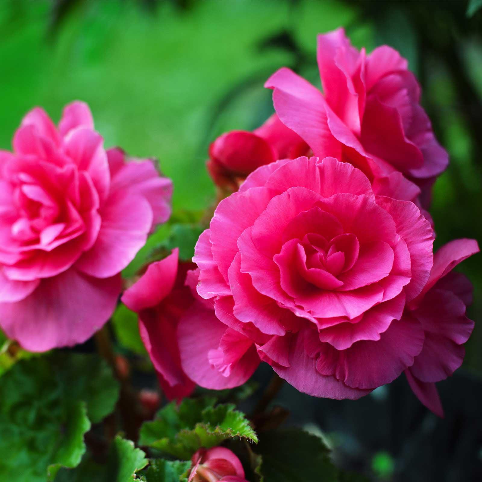 Tuberous Begonia Nonstop Series Plant Seeds (Pelleted): Deep Rose - 100 Seeds - Annual Decorative Flower Plant, Houseplant