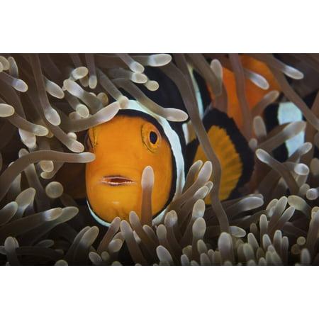 Percula Clownfish in its host anemone Papua New Guinea Poster - Clownfish Anemone